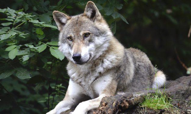 Friedliches Miteinander von Wölfen und Weidetieren – durch intelligenten Zaun
